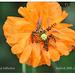 Episyrphus balteatus on poppy Seaford 28 7 2011