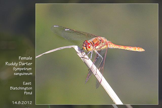 Female Ruddy Darter  - East Blatchington Pond - 14.8.2012
