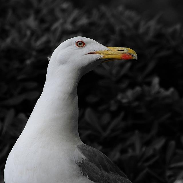 MONACO: Uu goéland argenté (Larus argentatus).