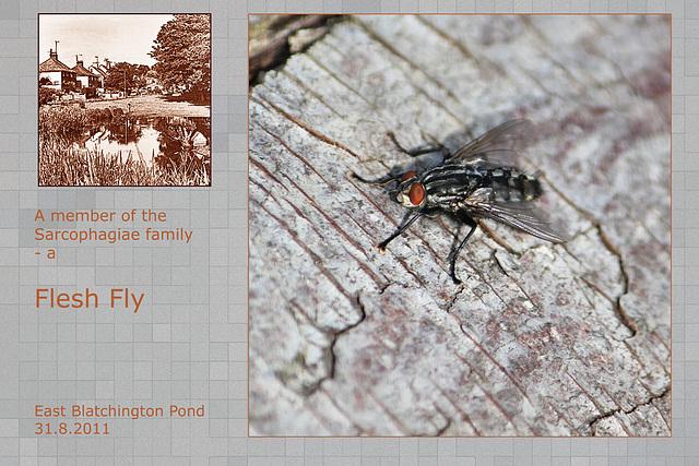 Flesh fly - East Blatchington Pond - 31.8.2011