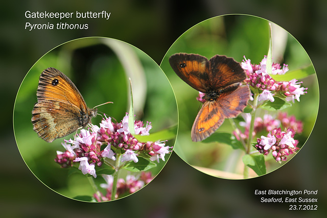 Gatekeeper butterfly  - East Blatchington Pond - 23.7.2012