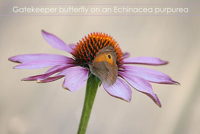 Gatekeeper on Echinacea  - Seaford