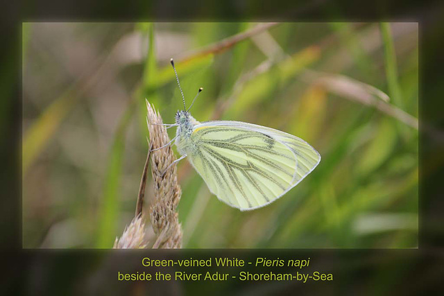 Green-veined White Shoreham 27 6 2011
