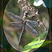 Hairy Dragonfly Brachytron pratense Seaford  13 8 2011 po