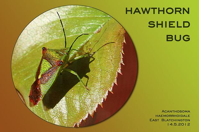 Hawthorn Shield Bug East Blatchington 14 5 2012