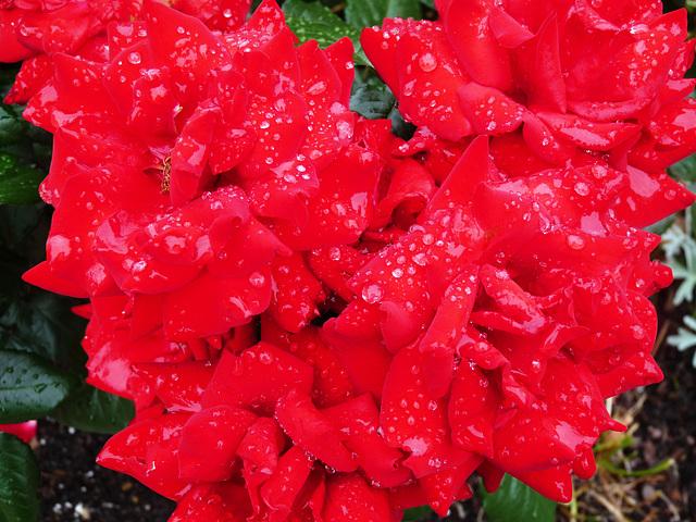 rainy red