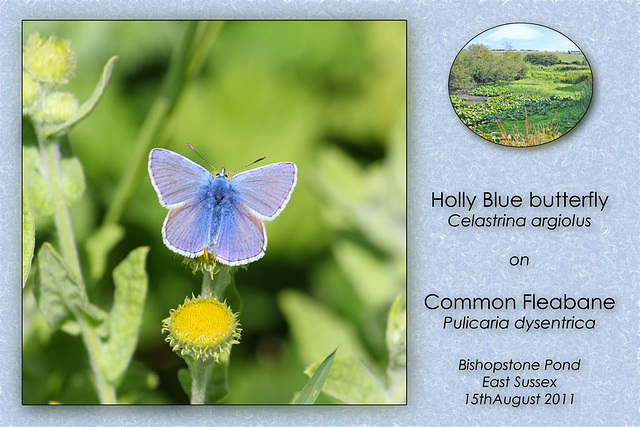 Holly Blue on Common Fleabane Bishopstone 15 8 2011