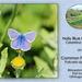 Holly Blue on Common Fleabane Bishopstone 15 8 2011
