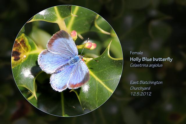Holly Blue St P chyard E Blatchington 12 5 2012