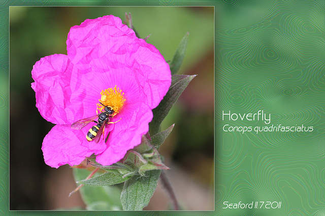 Hover fly Conops quadrifasciatus Seaford 11 7 2011