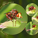 Hover fly Sicus ferrugieus Seaford 4 6 2011