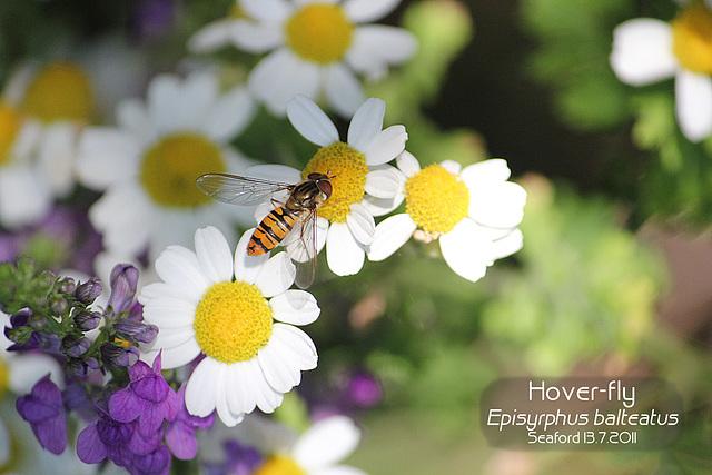 Hoverfly Episyrphus balteatus 06  13 7 2011