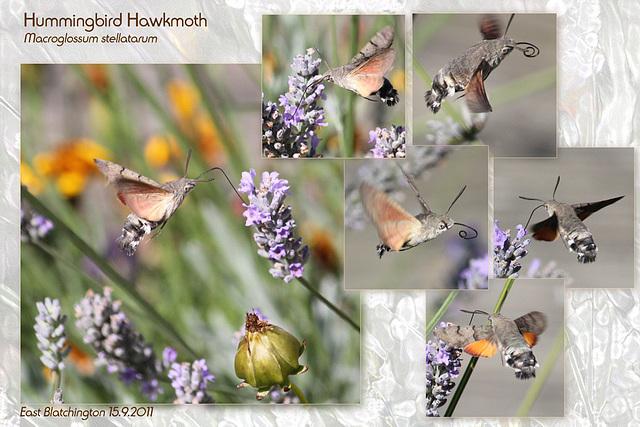 Hummingbird  Hawkmoth - East Blatchington - 15.9.2011