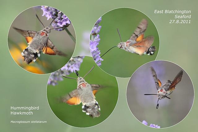 Hummingbird Hawkmoth - 27.8.2011