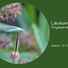 Lacewing Chrysoperla carnea
