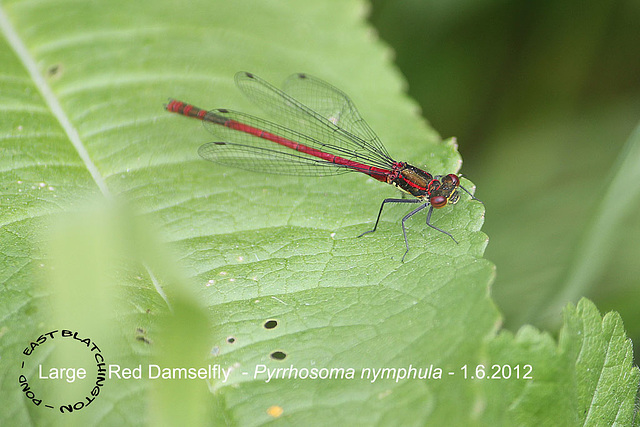 Large Red Damselfly - East Blatchington Pond - 1.6.2012
