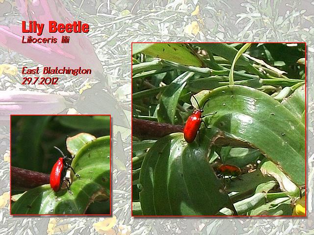 Lily Beetles 29 7 2012