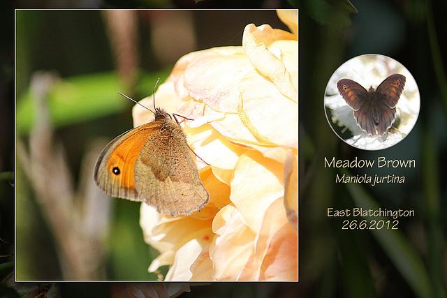 Meadow Brown E Blatchington 26 6 2012