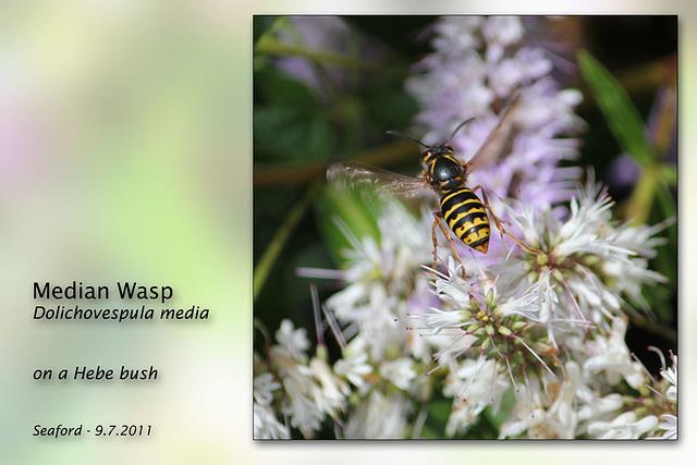 Median wasp Dolichovepula media Seaford 9 7 2011