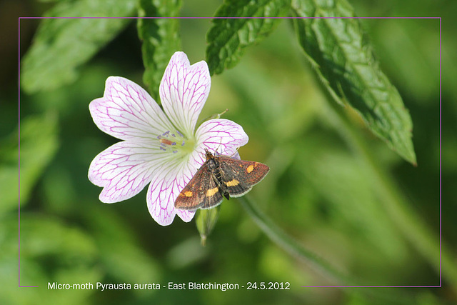 Micro-moth, Pyrausta aurata, on pink flower - 24.5.2012