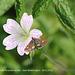 Micro-moth, Pyrausta aurata, on pink flower - 24.5.2012