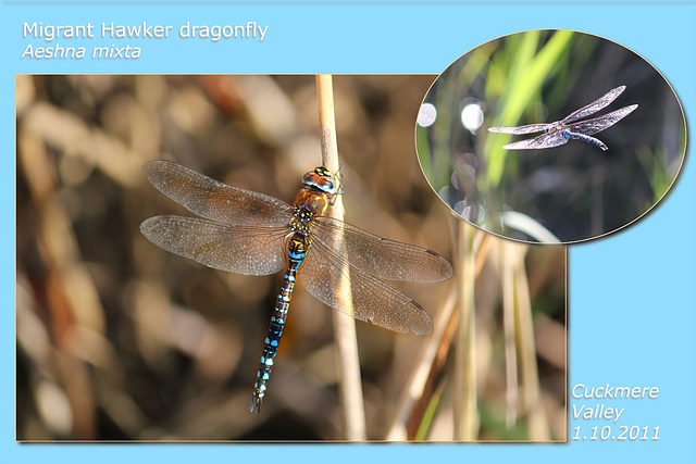 Migrant Hawker Dragonfly Cuckmere 1 10 2011