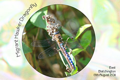 Migrant Hawker Dragonfly East Blatchington 13 8 2011
