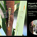 Migrant Hawker dragonfly - East Blatchington Pond - 14.8.2012