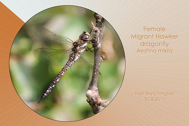 Migrant Hawker Dragonfly female East Blatchington 31 8 2011