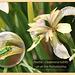 Oedemera nobilis of Iris foetidissima Seaford 4 6 2011