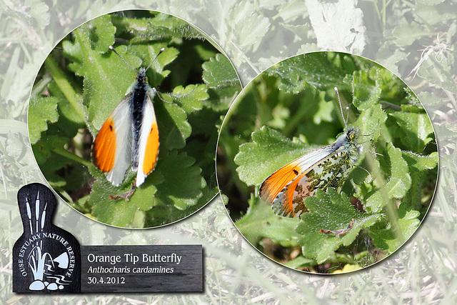 Orange Tip Ouse Estuary Nature Reserve - 30.4.2012