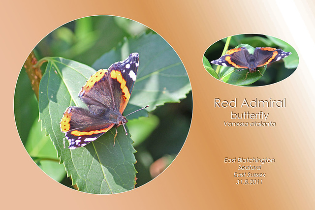 Red Admiral 31 8 2011