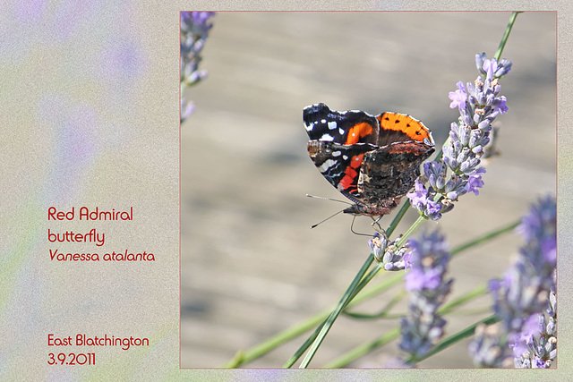 Red Admiral EB 3 9 2011