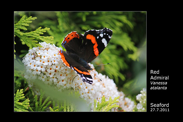Red Admiral Seaford  27 7 2011