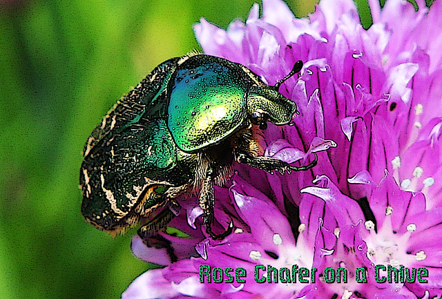 Rose Chafer on a Chive 19 5 2012 poster edges