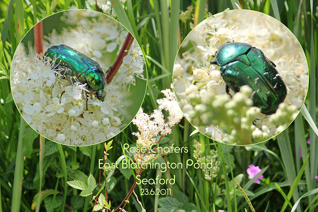 Rose Chafers  - East Blatchington Pond - 23.6.2011
