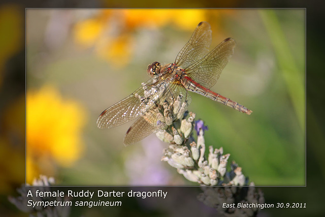 Ruddy Darter female - East Blatchington Pond - 30.9.2011