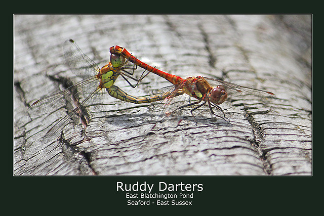 Ruddy Darters - East Blatchington Pond - 15.8.2011