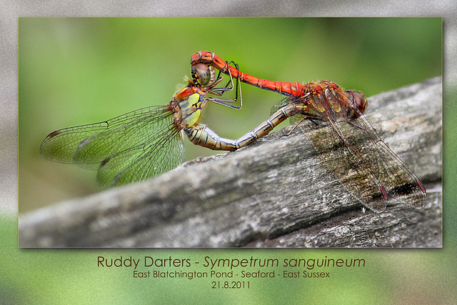 Ruddy Darters m&f - East Blatchington Pond - 21.8.2011