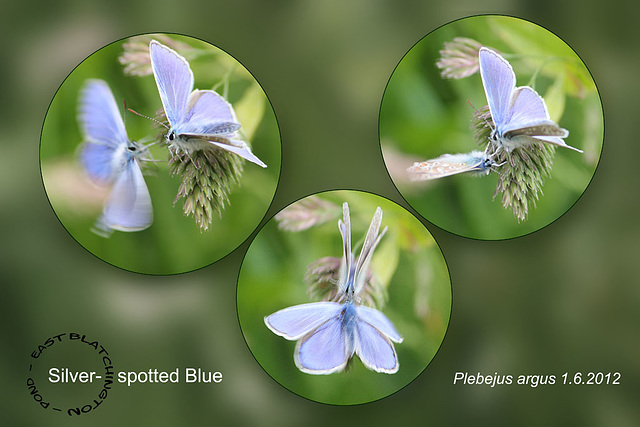 Silver-spotted Blue couple - East Blatchington Pond - 1.6.2012