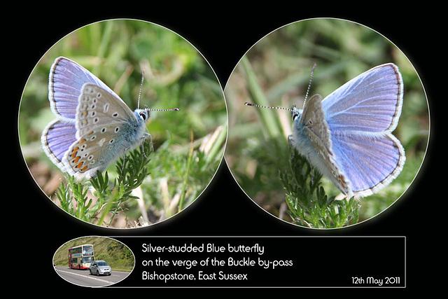 Silver studded blue Bishopstone 12 5 2011