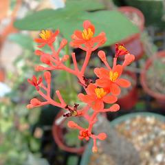 Jatropha podagrica flower