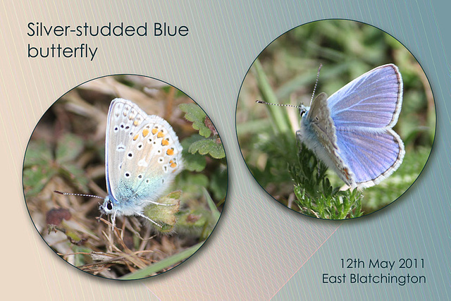 Silver studded blue E B Seaford 12 5 2011