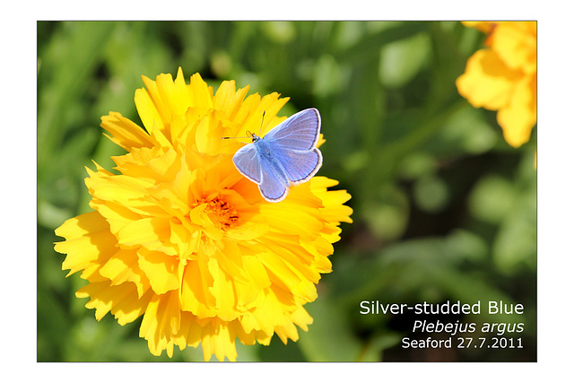 Silver studded blue Seaford 25 7 2011