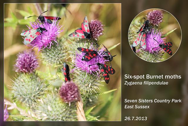 Six-spot Burnet moths - Seven Sisters Country Park - 26.7.2013