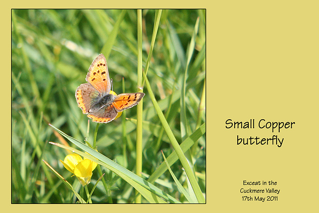 Small Copper Butterfly Cuckmere 17 5 2011