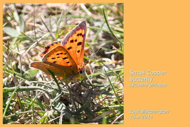 Small Copper butterfly - East Blatchington - 15.9.2011