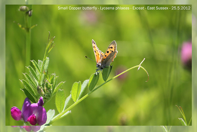 Small Copper - Exceat - 25.5.2012