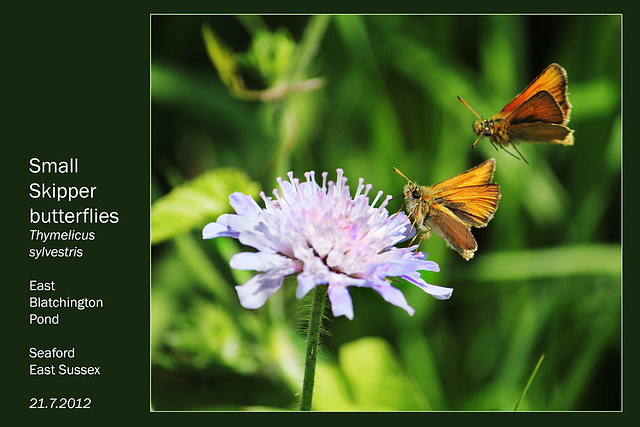 Small Skippers - East Blatchington Pond - 21.7.2012