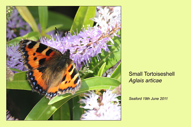 Small Tortoiseshell - East Blatchington - 19.6.2011